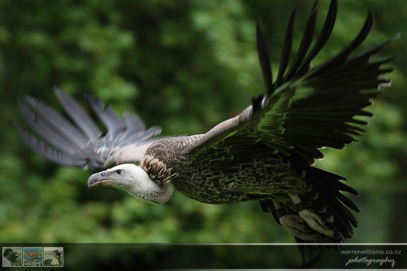 IMAGE: http://www.warrenwilliams.co.nz/2007/vulture.jpg