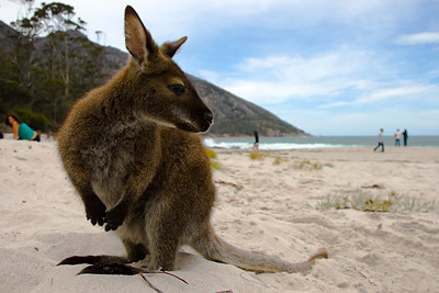 Freycinet Wallabies
