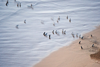 Penguins in the surf, Twelve Apostles