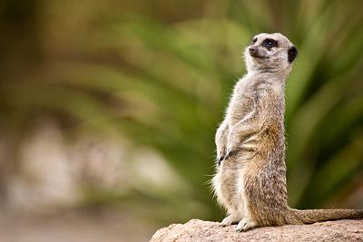Meerkat Werribee Zoo