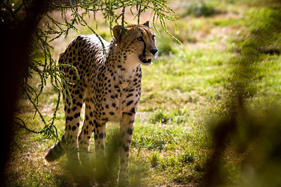 Cheetah Werribee Zoo