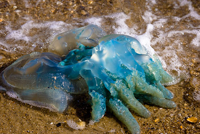 Jelly Blubber St Kilda Beach, Melbourne