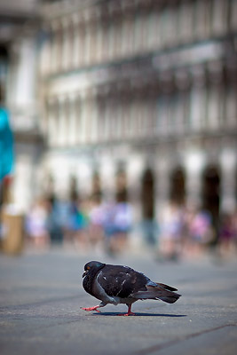 Pigeon in St Mark's Square, Venice