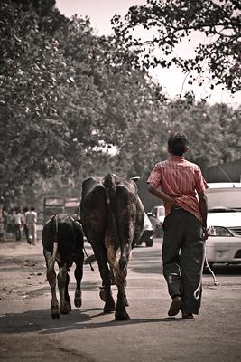 Cows Vile Parle Mumbai