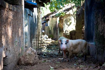 Sant Estevam Pigs