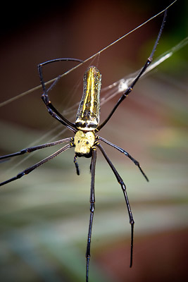 Golden Orb Spider India