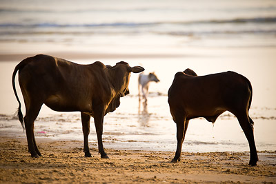 Cows and stray dogs Goa