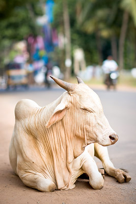 Cow in Calangute