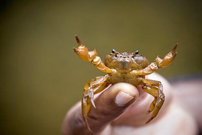 Crab Goa