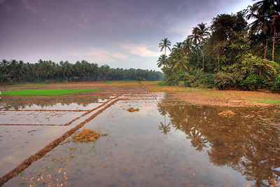 Rice field, Goa