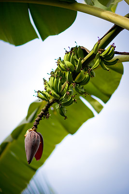Banana Tree Goa