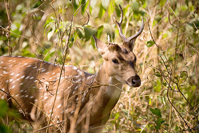 Deer in Mumbai