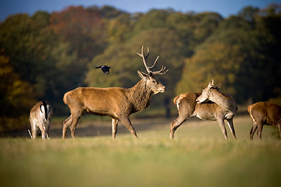 Stag Richmond Park