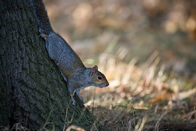 Squirrel 500mm