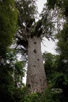 Tane Mahuta, Largest Kauri in New Zealand